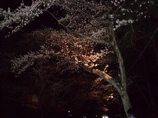 伊豆の夜桜