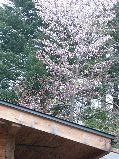 屋根の上の桜