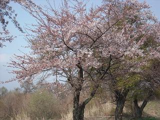 牧草地の桜