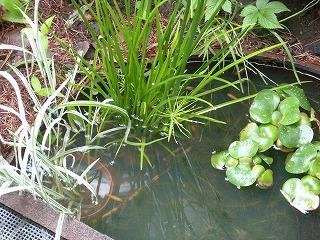 メダカの池の植物