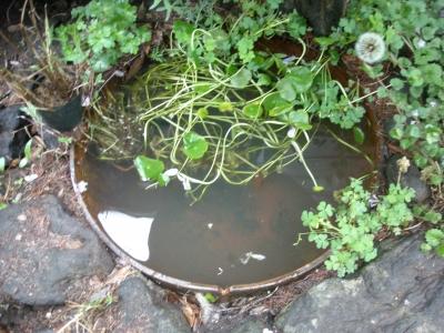 メダカの池